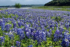 Bluebonnets in Texas Hill Country, our office for Central Texas Forensic Accounting